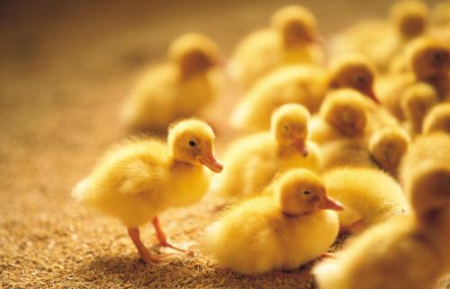 家养鸭子怎么养