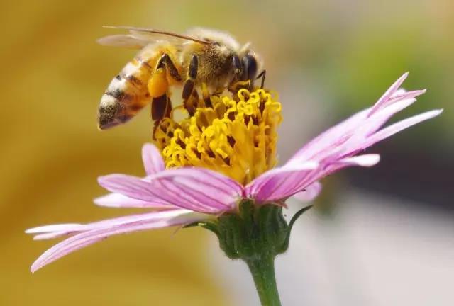 花粉大小的藥丸可以幫助保護蜜蜂免受殺蟲劑的侵害!
